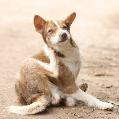 How to Get Rid of Fleas On Dog