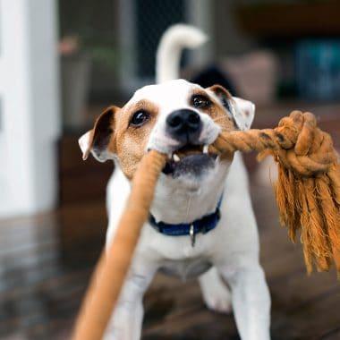 Fox terrier pulling